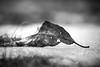 Will spring ever arrive? (Nicholas Erwin) Tags: nature leaf snow ice bokeh depthoffield dof naturephotography noir blackandwhite mono monochrome bw contrast nikon d610 nikkor 70200f4vr waterbury vermont vt unitedstatesofamerica usa fav10 fav25 fav50