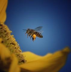 Macro life (abhishekskumar) Tags: macro macroshot macroking magic bee lovely lovelyshooftheday beelife flickr india kerala munnar