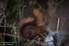 Eekhoorn [1] (Werner Wattenbergh) Tags: fauna eekhoorn mammals squirrel zoogdieren