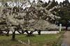 warm day (kzmiz) Tags: nikond800e japan chiba sanmu japanese apricot ume castle sakata