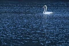 IMG_4753 (david.smart26) Tags: dogwood2018 dogwood52 dogwood2018week11 negativespace swan lake swans roundhay leeds
