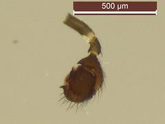 Erigonella hiemalis (dhobern) Tags: 2018 araneae denmark europe linyphiidae march søborg utterslevmose erigonellahiemalis