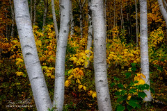 Birch Magic (Tony Phillips Photography) Tags: acadia acadianationalpark maine parklooproad autumn autumncolor birchtree fall fallcolor forest grove landscape landscapephotography nature naturephotography nikon nikonphotography outdoorphotography outdoors travel trees woods