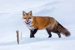 Renard roux / Red fox (Roy Yves) Tags: wildlife wild neige snow winter hiver roux renard fox sthubert aéroport québec canada red nature sauvage