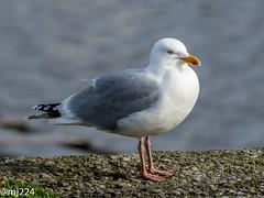 Herring Gull (dudutrois) Tags: herringgull burryport