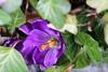 Bee Back (Sven Bonorden) Tags: bee biene insect krokus crocus violet violett lila gelb yellow spring earlyspring garden makro macro garten canon