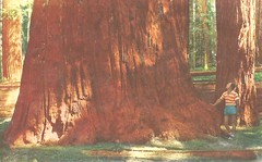 "Big Tree: ""Listen, little man!"" (912greens) Tags: redwoods trees sequoias men tourists postcards"
