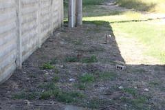 IMG_3896 (19ouch83) Tags: sylvilagus trasimeno umbria coniglio