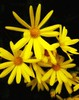 Yellow Yellow (jackyjulyan) Tags: flowers flower petals yellow daisies daisy nature colour