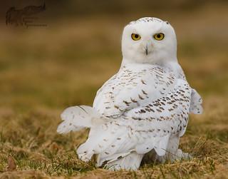 Snowy Owl 3_12 2