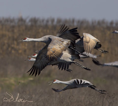 Sandhill cranes (SlocumPhotography) Tags: sandhillcranes bif merced mercednationalwildliferefuge antigonecanadensis canon canon6d flight flock crane bird migration