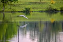 Great Blue Heron in Flight (thatSandygirl) Tags: nature outdoor park bird blueheron greatblueheron ardeaherodias flying inflight animal wings waterbird lake reflection water