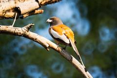 Rufous Treepie (fate atc) Tags: bird corbettnationalpark india rufustreepie uttarakhand crowfamily nativeofindiansubcontinent openfieldbird songbird jhirna zone