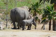 DSC_4729 (Andrew Nakamura) Tags: animal mammal rhino rhinoceros southernwhiterhino whiterhino whiterhinoceros rhinocalf mothercalf sandiegozoosafaripark safaripark escondido