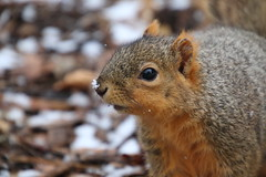 Squirrels On a Snowy Day in Ann Arbor at the University of Michigan (March 8th, 2018) (cseeman) Tags: gobluesquirrels squirrels annarbor michigan animal campus universityofmichigan umsquirrels03082018 winter eating peanut marchumsquirrel snow snowy