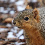 Squirrels On a Snowy Day in Ann Arbor at the University of Michigan (March 8th, 2018) thumbnail