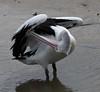 Australian Pelican (Pelecanus conspicillatus) (iainrmacaulay) Tags: bird australia pelican pelecanus conspicillatus