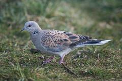 Turtle Dove, 1st winter (The Treerunner) Tags: beachroad turtledove