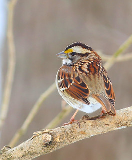White Throated Sparrow42w