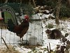 Mexican Standoff (vw4y) Tags: rooster cockerel cat mexicanstandoff staring poised snow