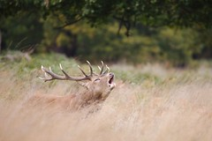 cerf-0022 (philph0t0) Tags: cervuselaphus cerfélaphe cervus elaphus cerf élaphe reddeer red deer stag rut brame animal mammifére mamal forêt arbre