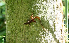 20180215_41 Gecko Green Cay Wetlands Boynton Beach Florida USA (FRABJOUS DAZE - PHOTO BLOG) Tags: greencay wetlands greencaywetlands naturecenter boyntonbeach palmbeachcounty pbc fl fla florida sunshinestate usa unitedstates america amerikka yhdysvallat wildlife nature naturephotography luonto luontokuvaus luonnonpuisto puisto cecko gekko lisko lizard