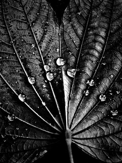 """- pure morning - """"with all humility and gentleness""""  #iphone #closeup #dew# #leaf #morning #dark #blackandwhite #blackandwhitephotography #blackandwhitephoto #bw #bwphotography #bnw #bnwphotography #monochrome #monochromephotography #other #fr"""