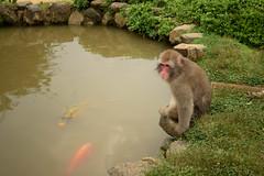 嵐山モンキーパークいわたやま - Arashiyama Monkey Park Iwatayama (Hachimaki123) Tags: 日本 japan 京都 kyoto macaco macacojaponés macacafuscata 動物 さる 猿 animal monkey mono 嵐山モンキーパークいわたやま 嵐山 arashiyamamonkeyparkiwatayama