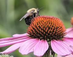 On Top of His World (clarkcg photography) Tags: macro closeup 7dwf wednesdaymacro macrowednesday flower bee together fun naturebokeh