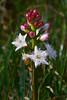 Menyanthes trifoliata - Bogbean - Waterdrieblad (Cor Slee) Tags: closeup nature water peet pond ngc npc