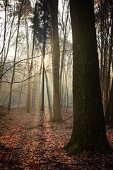 Winter morning in the forest (pszcz9) Tags: przyroda nature natura las forest forestimages poranek morning słońce sun zima winter drzewo tree pejzaż landscape polska poland beautifulearth sony a77