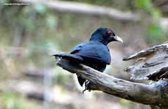 DSC00502 Asian Koel-male (Eudynamys scolopacea) (vlupadya) Tags: greatnature animal aves fauna indianbirds asian koel male eudynamys kundapura karnataka