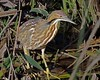 237. At Last, American Bittern (Jan Nagalski (off for awhile)) Tags: marsh marshbird heron bittern americanbittern shy camo camouflage feet bigfeet sarasota sarasotacounty florida winter nature wildlife jannagal jannagalski janlnagalski uncommon lifer lifebird lifebirdphotograph 237