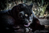 No Lick of surprise (JKmedia) Tags: jaguar melanism big cat bigcat black panther boultonphotography chesterzoo cheshire february 2018 portrait animal goshi pantheraonca mammal