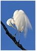 Egret preening (docsunny) Tags: egret white ardea alba preening plumage