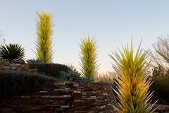 Chihuly Glass (joeksuey) Tags: chihuly lights glass desert botanicalgarden phoenix arizona display joeksuey saguaro cacti color art sunset