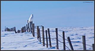 SnowyOwl_6D_2174