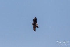 Bald Eagle theft attempt 2 - 4 of 7