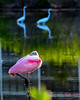 foreground - background (dbking2162) Tags: birds bird roseate spoonbill heron egrets pink white water wading green nature nationalgeographic wildlife fortmyersbeach florida animal