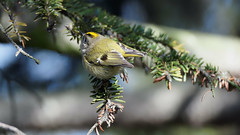 Goldcrest (1/2) : a female Golcrest during a very cold day (Franck Zumella) Tags: bird small oiseau petit smallest goldcrest roitelet huppe huppé kinglet animal nature tree arbre wildlife green yellow sauvage vie vert jaune sony a7s a7 tamron 70300 150600
