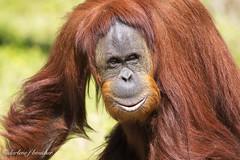 orangutan (amaw) Tags: winner