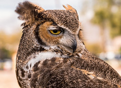 This Is My Better Side (Ron Drew) Tags: nikon d850 greathornedowl streetfair fountainhills arizona az feathers wildlife eye