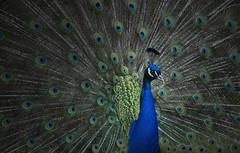 Peacock (laurahilhorst) Tags: peacock birds bird colors animal animals green birdphotography animalphotography nikon germany dutch feathers feather blue eifel wildpark colorful composition light