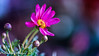 The Chief (frederic.gombert) Tags: flower flowers pink daisy garden color colored colorful spring bloom blossom macro nikon light