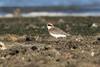 Lesser Sandplover (oz-birds) Tags: birds lessersandplover wellingtonpoint