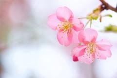 カワヅザクラ Kawazu cherry tree (takapata) Tags: sony sel90m28g ilce7m2 macro nature flower sakura
