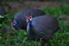 DSC_8403 (H Sinica) Tags: 博茨瓦納 botswana chobe chobenationalpark safari guineafowl 珍珠雞