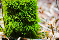 Spring moss (annablepatrick) Tags: nikon nature moss wet starkey hill green wood woods forest stick sticks stump moist walk hike