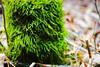 Spring moss (annablepatrick) Tags: nikon nature moss wet starkey hill green wood woods forest stick sticks stump moist walk hike