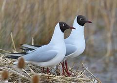 Black-headed Gulls (gillybooze) Tags: ©allrightsreserved bird gull birdwatcher blackheadedgull reeds dof outdoor water bokeh 600mmf4